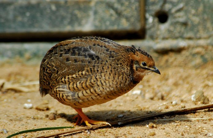 Tweety becomes a Casanova: $356,933 federal government study reveals that male Japanese quails gain heightened sex drive on cocaine